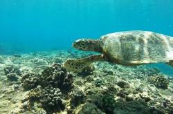 Želva nad korály