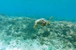 Připlouvající želva
