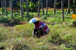 pracovník na plantáži