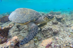 mořská želva na Maledivách