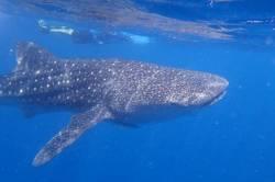 Žralok-obrovský-velrybí