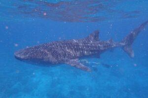 Žralok obrovský na Maledivách